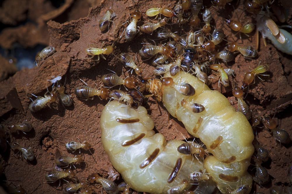 Le péril termites et l'Etat parasitaire obligatoire